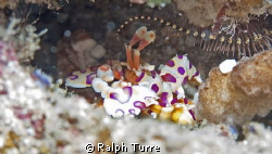 Harlequin Shrimp and Brittle Starfish. Canon XTi, 60mm ma... by Ralph Turre